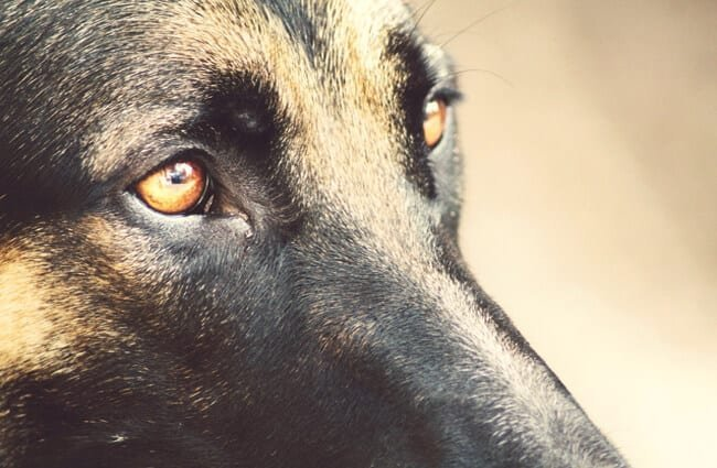 The German shepherd's eyes shine bright with loyalty and love.
