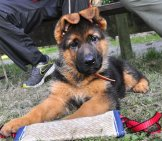 German Shepherd Puppy. His Ears Will Stand Up Smartly Eventually.