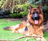 Stunning Long-Haired German Shepherd Dog.