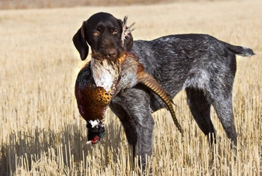 German wirehaired pointer with a Rooster Pheasant.Photo by: (c) schlag www.fotosearch.com