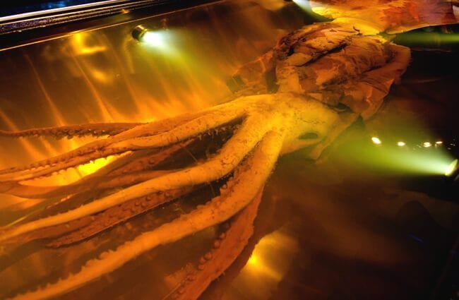 Preserved Giant squid in a water tank. Photo by: (c) lucidwaters www.fotosearch.com