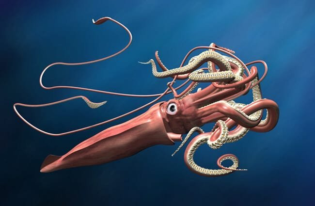 Illustration of a giant squid lurking in the depths.Photo by: (c) paulfleet www.fotosearch.com