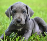 Blue Great Dane Puppy, At 8 Weeks Old. Photo By: (C) Aeverett Www.fotosearch.com
