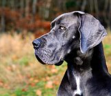 Profile Portrait Of A Great Dane.