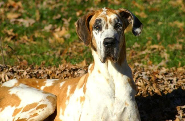 Brown and white mantle-colored great Dane. Photo by: fun in photo's https://creativecommons.org/licenses/by/2.0/