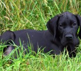 Black Great Dane Puppy.