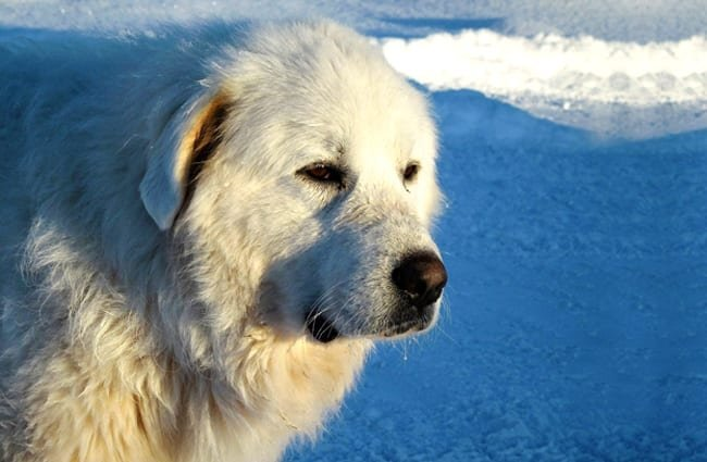 Great Pyrenees in profile.