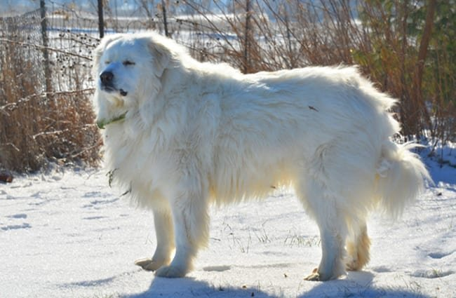 Portrait of a Great Pyrenees dog.
