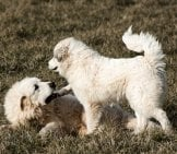 Great Pyrenees Puppies Playing In The Yard.