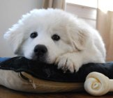 Great Pyrenees Puppy Posing For A Photo.