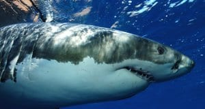 Great white shark photographed in Guadeloupe Island, Mexico.Photo by: (c) davidpstephens www.fotosearch.com