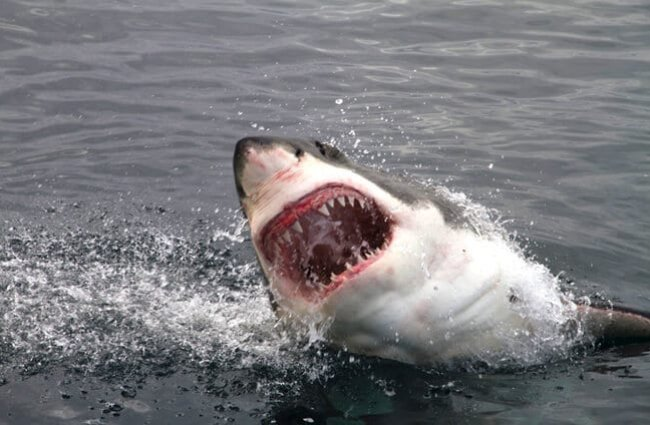 Breaching great white shark. Notice the rows of sharp teeth.Photo by: (c) PieterDePauw www.fotosearch.com