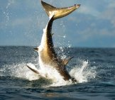 Tail Of A Jumping Great White Shark. Photo By: (C) Surz Www.fotosearch.com
