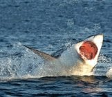 Hunting Of A Great White Shark Off The Coasts Of South Africa. Photo By: (C) Surz Www.fotosearch.com