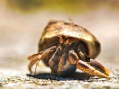Hermit crab traveling across the sand.