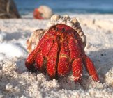 Beautiful Red Hermit Crab.