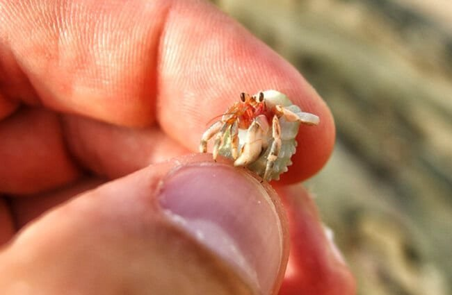 Tiny hermit crab.