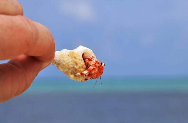 Very small hermit crab in a tiny conch shell.