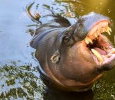Pygmy Hippopotamus At A Zoo In Portugal. Notice His Large Teeth. Photo By: Https://creativecommons.org/licenses/by/2.0/