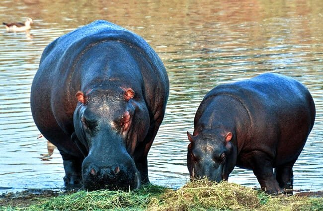 Mother and baby hippopotamus eating at the water's edge.