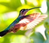 Beautiful Hummingbird In Flight. Photo By: (C) Fotosmurf Www.fotosearch.com