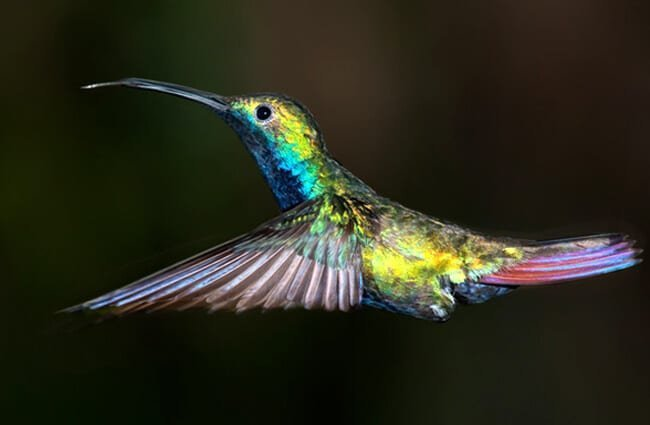 Black-throated Mango hummingbird, from Iguazu, Argentina. Photo by: (c) elnavegante www.fotosearch.com
