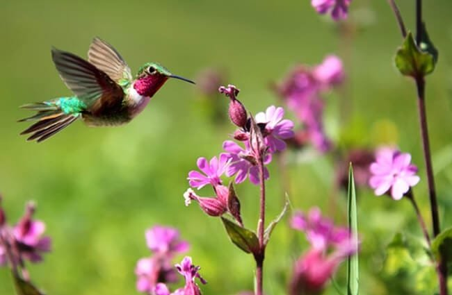 Ruby-throated Hummingbird in flight. Photo by: (c) mbolina www.fotosearch.com