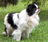 Black And White Japanese Chin. Photo By: (C) Rudyumans Www.fotosearch.com