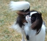 Fluffy Japanese Chin, Hair Blowing In The Wind. Photo By: (C) Dejavudesigns Www.fotosearch.com