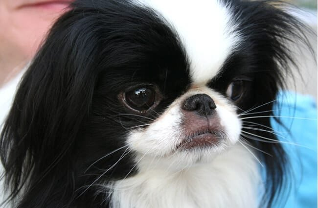 Portrait of a Japanese chin dog. Photo by: Alex Archambault https://creativecommons.org/licenses/by/2.0/