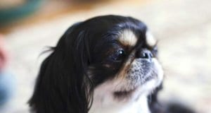 Closeup of a black, white, and tan Japanese chin.Photo by: Vera Yu and David Li https://creativecommons.org/licenses/by/2.0/