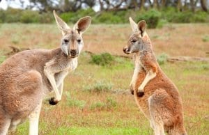 A pair of kangaroos checking out the camera.