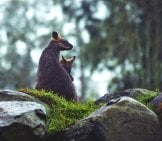 Mother Kangaroo And Her Baby Watching The Rain.