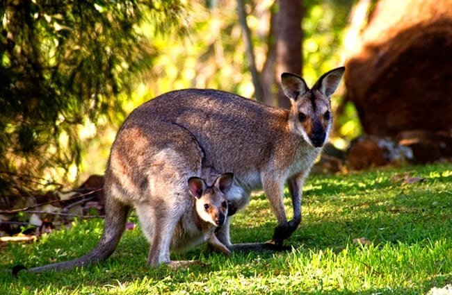 Kangaroo with her joey in her pouch.