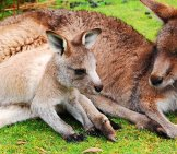 Baby Kangaroo Napping With His Mother.