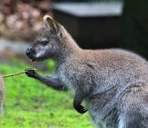 Playful Kangaroo With A Stick. Notice His Gripping Hands.