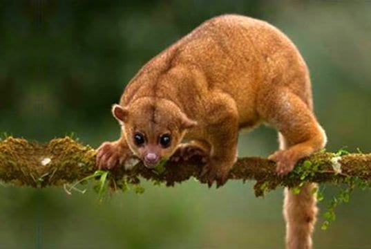 Portrait of a kinkajou.
