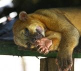 Kinkajou Napping. Photo By: Marco Zanferrari Https://creativecommons.org/licenses/by-Sa/2.0/