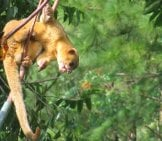 Kinkajou Reaching For Fruit From A Bird Feeder. Photo By: Ryanacandee Https://creativecommons.org/licenses/by-Sa/2.0/