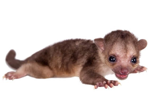 Baby kinkajou Photo by: (c) Farinosa www.fotosearch.com