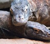 Closeup Of Two Komodo Dragons In Courtship. Photo By: (C) Nazzu Www.fotosearch.com