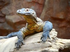 Komodo dragon on a fallen tree. Notice his long claws.Photo by: (c) Trek13 www.fotosearch.com