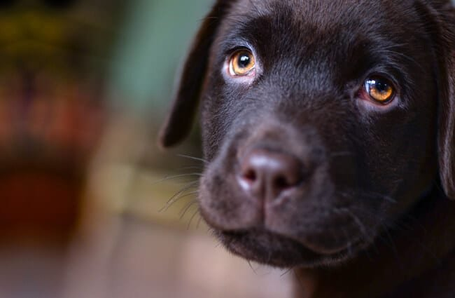 The warm and loving eyes of a black lab puppy.