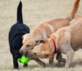 Trio Of Labrador Retrievers Wrestling In The Yard.