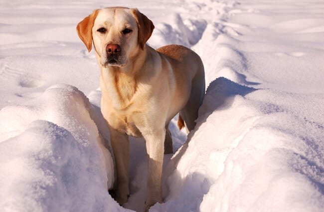 Yellow Labrador retriever playing in the snow.
