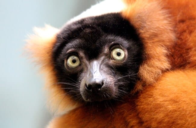 Closeup of a Red ruffed lemur.