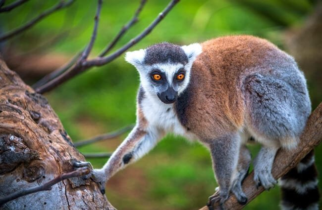 Lemur in a tree.