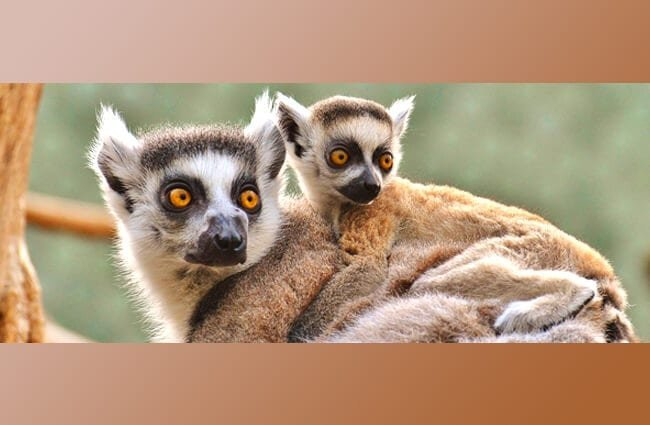 Mother lemur carrying her baby on her back. Baby lemur