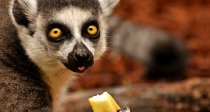 Lemur eating a piece of fruit.