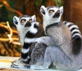 A Pair Of Lemurs Grooming One Another.